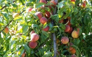Когда обрезать персики