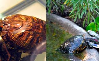 Что едят черепахи красноухие