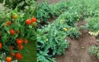 Чудо лентяя томат