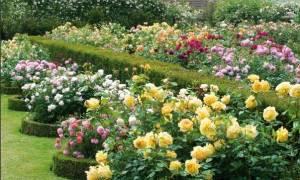 Сорта роз голландия