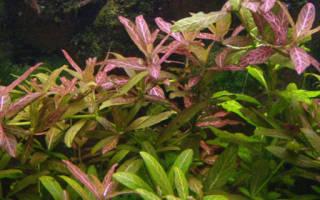 Гигрофила в аквариуме