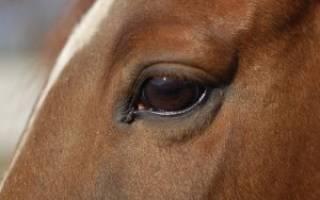 Лиловый глаз у лошади