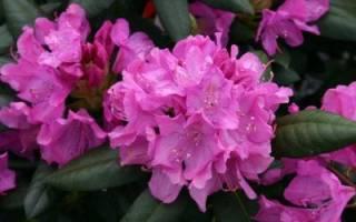 Розеум элеганс рододендрон