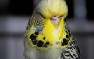 Болезни у волнистых попугаев