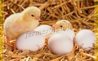 Чем кормить цыплят месячных