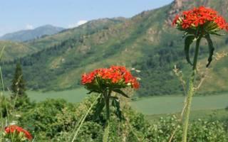 Лихнис халцедонский посадка и уход фото