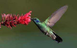 Самая маленькая хищная птица