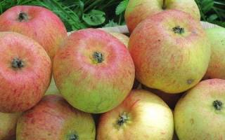 Коробовка яблоня описание