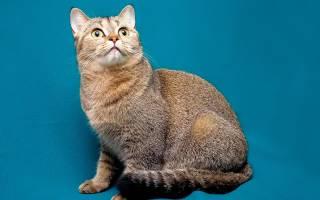Вислоухие котята характер и уход