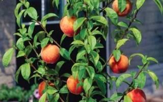 Персик из косточек