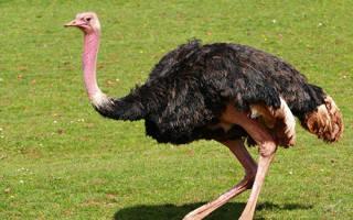 Сколько стоит страус?