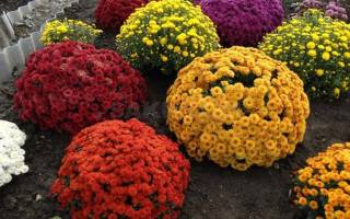 Хризантемы в зиму