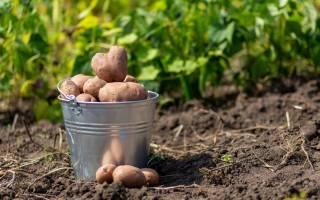 Когда копают картошку