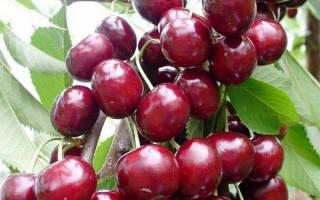 Колоновидная вишня сорта