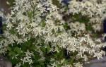 Клематис маньчжурский выращивание из семян