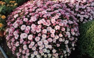 Пересадка хризантем осенью
