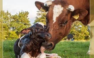 Когда доить корову после отела