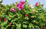 Роза морщинистая ругоза