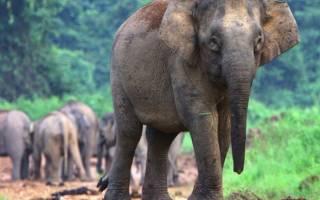 Самый маленький слон