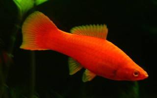Рыбки для аквариума меченосцы