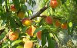 Сорт персика донецкий желтый