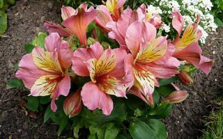 Альстромерия что за цветы