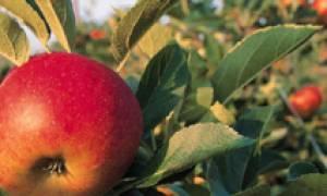 Цветоед яблоневый борьба