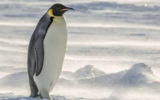 Самый крупный пингвин
