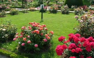 Расстояние между розами