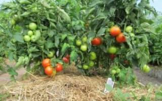 Яблонька России томат