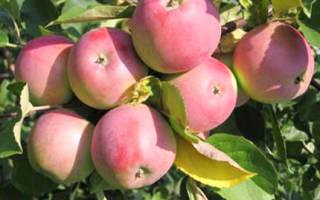 Сорт яблок вишневое