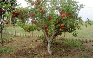 Яблони на полукарликовом подвое