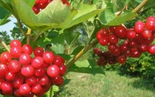 Калина красная гроздь описание сорта
