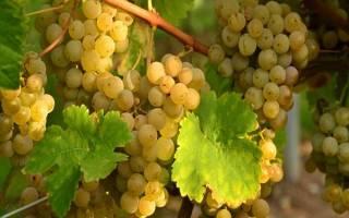 Сорт винограда виура
