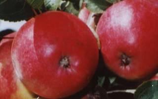 Бельфлер яблоня описание