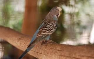 Строение волнистого попугая