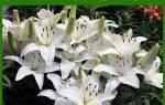 Как размножить Лилии чешуйками