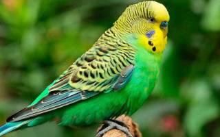 Самый красивый попугай