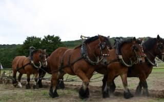 Лошадь породы тяжеловоз