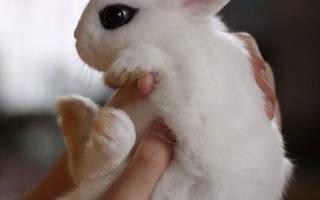 Сколько весит декоративный кролик