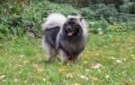 Собака вольфшпиц