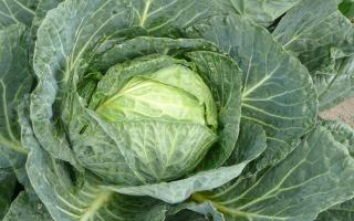 Рецепт капусты провансаль