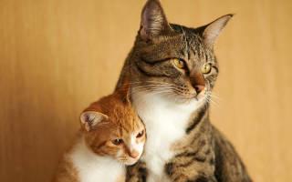 Кошка шипит на котенка