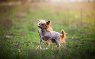 Порода лысой собаки