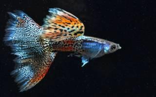 Гуппи рыбки разновидности фото