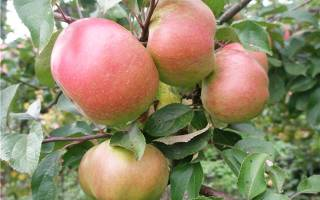 Яблоня вербное описание сорта