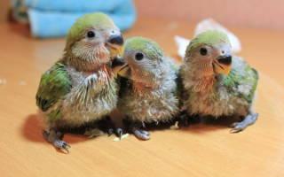 Чем кормить птенцов неразлучников