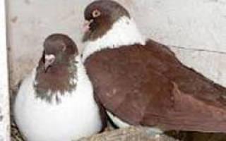 Мясные голуби разведение