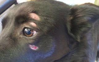 Дерматомикоз у собак
