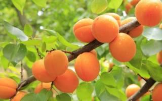 Привить абрикос на абрикос